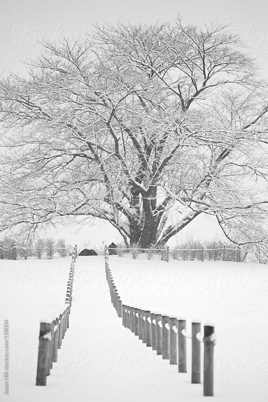 Cherry Blossom Tree in the Winter by Jason Hill for Stocksy United