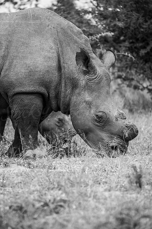 Rhino with horns cut off to stop poachers, Zimbabwe, Africa by Jaydene Chapman for Stocksy United