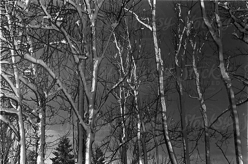 Snow on trees by Bor Cvetko for Stocksy United
