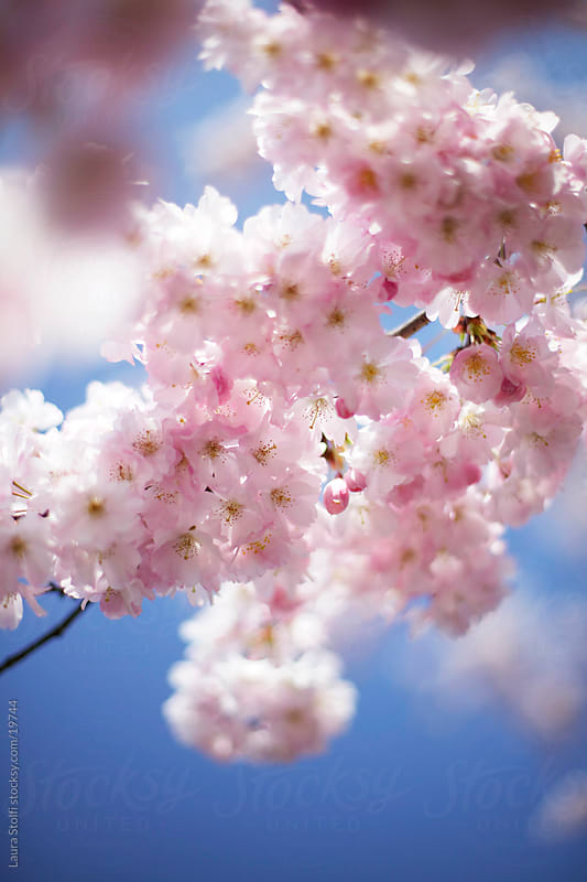 Flowered Cherry tree branch seen from below with blu sky on the background by Laura Stolfi for Stocksy United