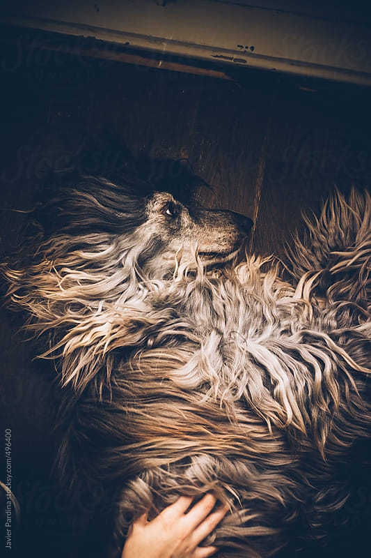 Beautiful afghan hound lying on the floor. by Javier Pardina for Stocksy United