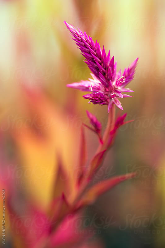 Spiked Flowers and bokeh by alan shapiro for Stocksy United
