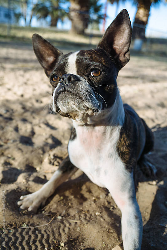 Bruce the Boston Terrier Pug at play. by Shannon Aston for Stocksy United