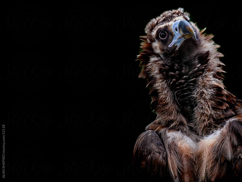 Cinereous Vulture on black by alan shapiro for Stocksy United