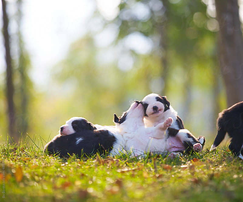 young border collies outdoor by Bo Bo for Stocksy United