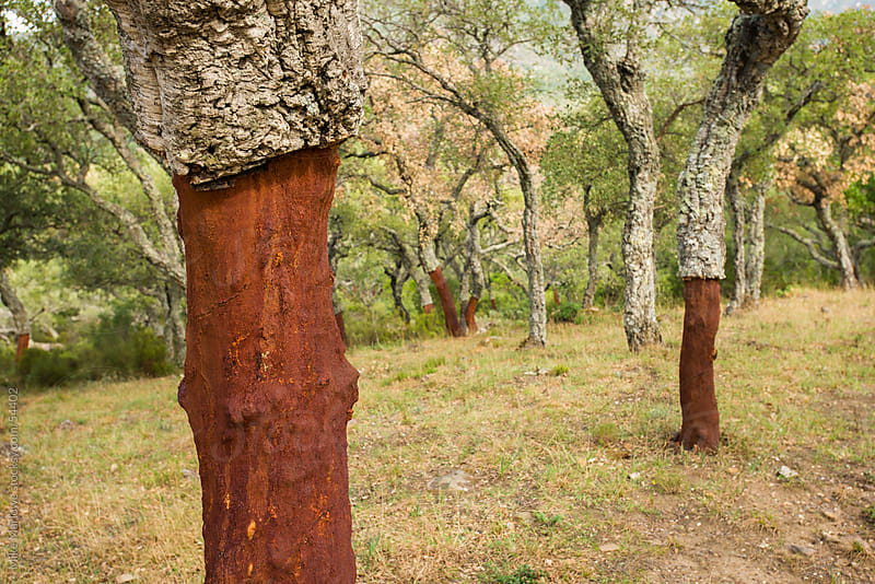 Cork tree plantation showing trunks with the cork srtipped off. by Mike Marlowe for Stocksy United