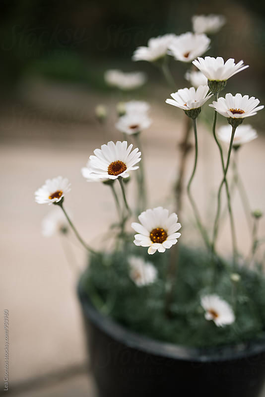 White daisies in a pot by Lea Csontos for Stocksy United