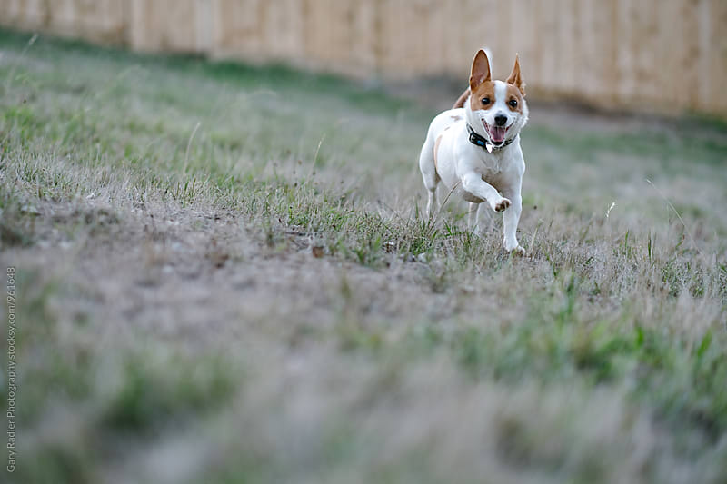 Jack Russell Running in a Paddock by Gary Radler Photography for Stocksy United
