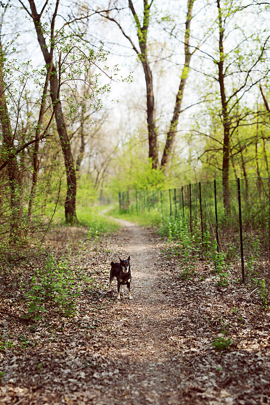 Crossbreed dog standing in a forest path and looking at the camera by Laura Stolfi for Stocksy United