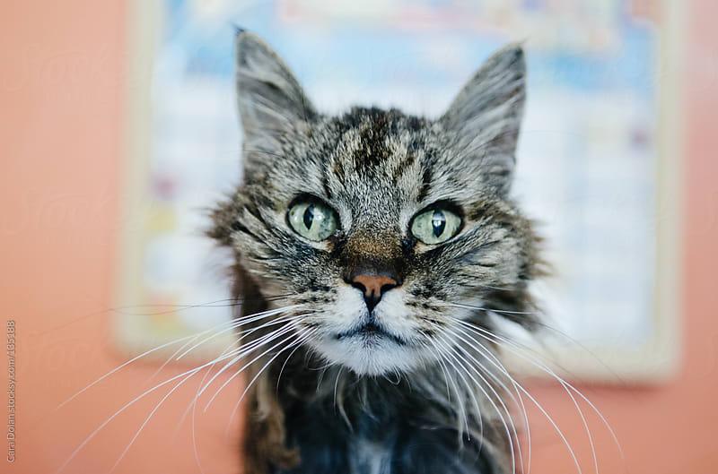 Scruffy elderly cat looks at camera by Cara Dolan for Stocksy United