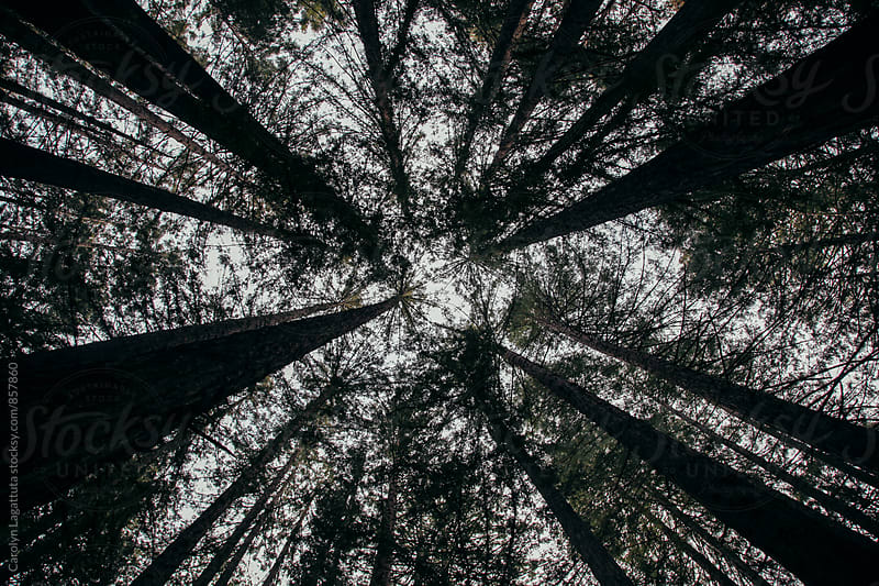 Standing in the center of a grove of very tall redwood trees by Carolyn Lagattuta for Stocksy United
