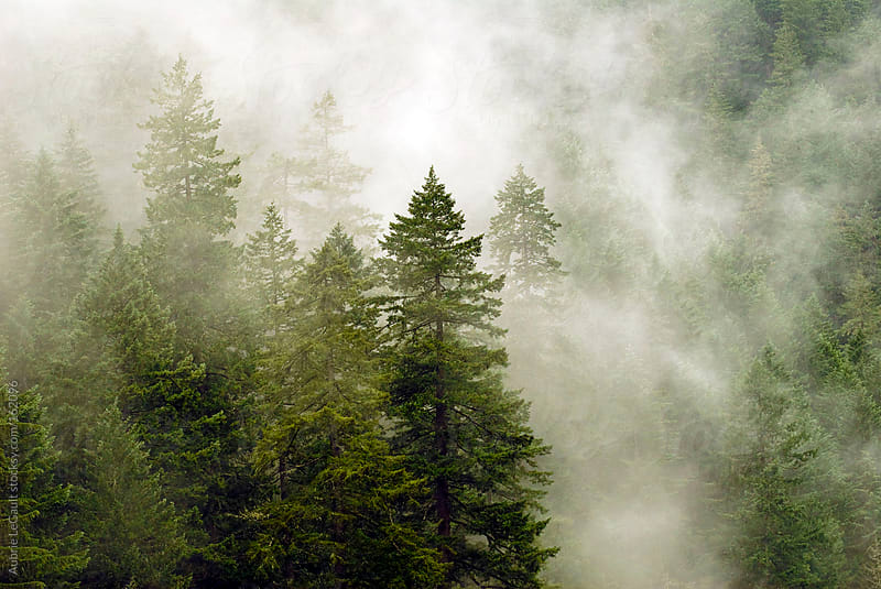 Foggy Evergreens by Aubrie LeGault for Stocksy United