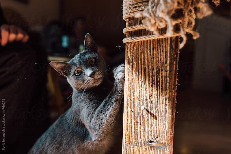 Portrait of beautiful grey cat by Boris Jovanovic for Stocksy United