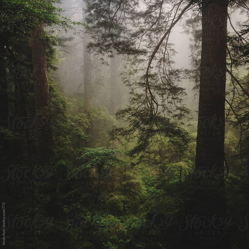 Redwood Foggy Forest by Kevin Russ for Stocksy United