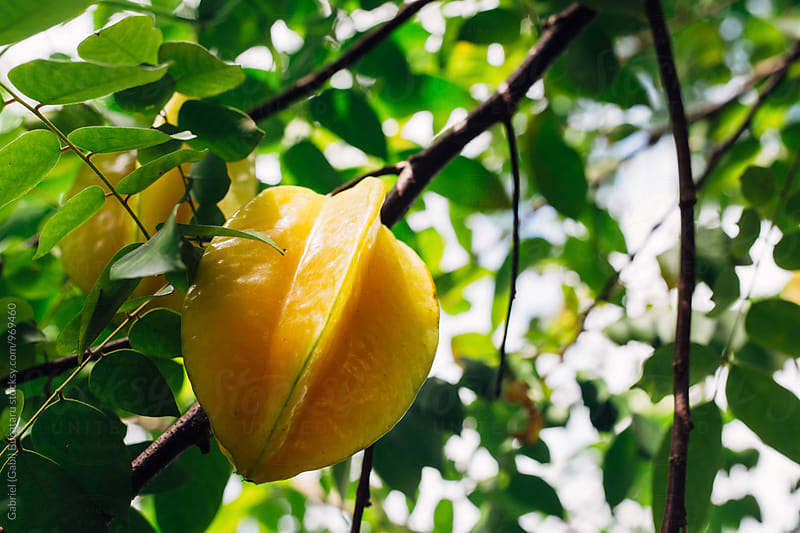 Juicy ripened star fruit on a tree by Gabriel (Gabi) Bucataru for Stocksy United
