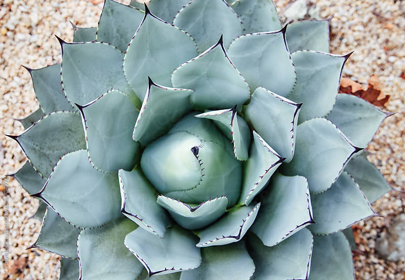 Overhead view of a spiky green cactus by Carolyn Lagattuta for Stocksy United
