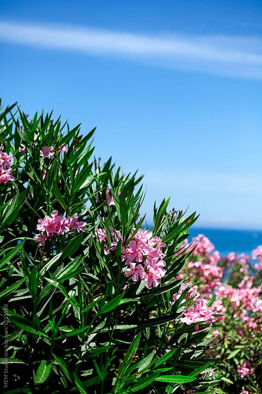 Oleander blossom by MEM Studio for Stocksy United