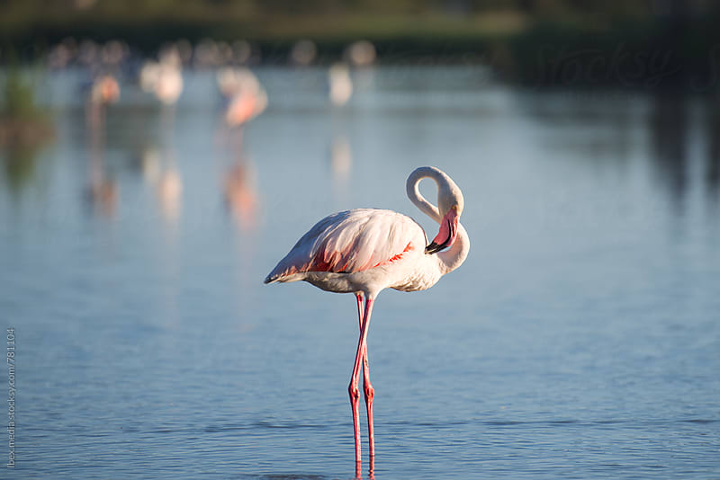 One flamingo bird standing in a natural lake outdoor by RG&B Images for Stocksy United