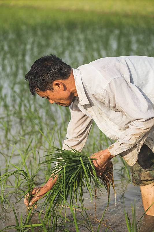 Farmers are transplanting rice seedlings by zheng long for Stocksy United