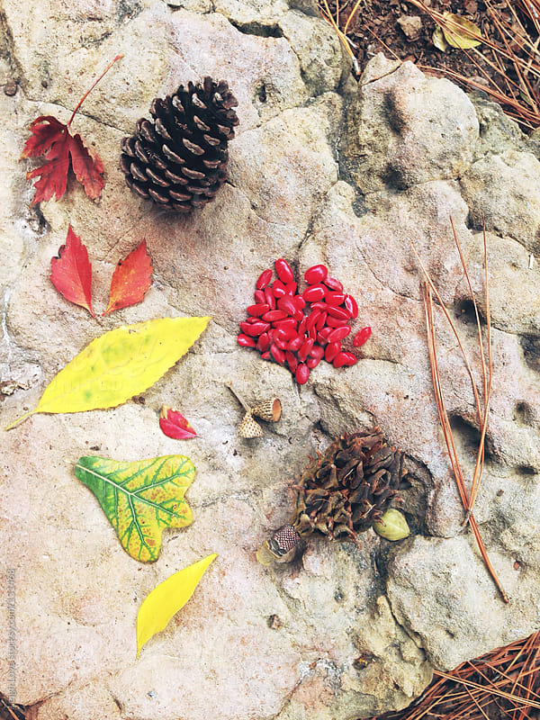 Collection of Pine Cones, Seeds, Berries and Leaves by Leigh Love for Stocksy United