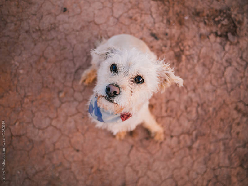 Cute terrier looking at owner in desert setting  by Jeremy Pawlowski for Stocksy United