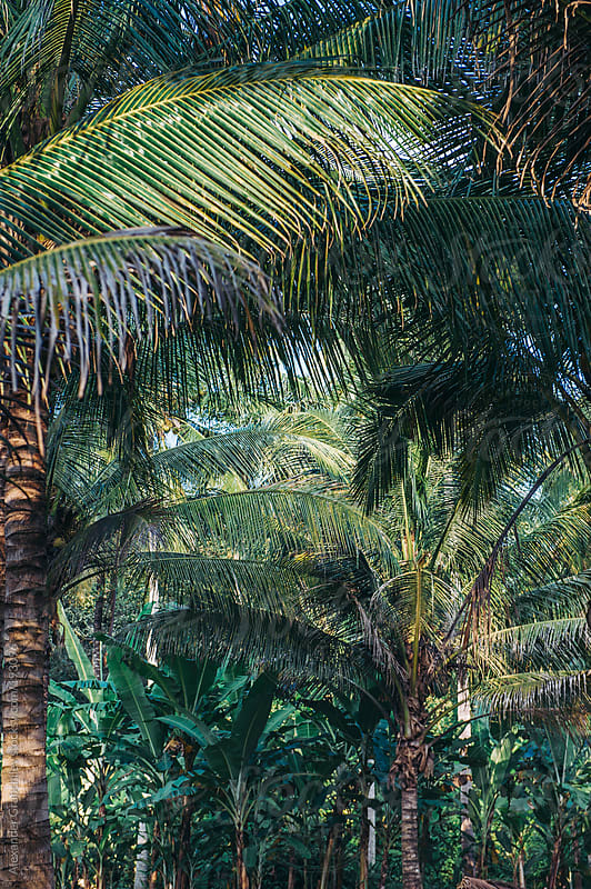 Tropical Palms Background by Alexander Grabchilev for Stocksy United