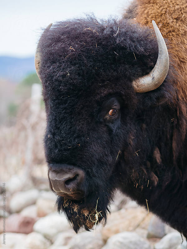 Close up headshot of Bison with sad looking eyes by Jeremy Pawlowski for Stocksy United