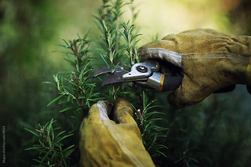 Cutting rosemary by kkgas for Stocksy United