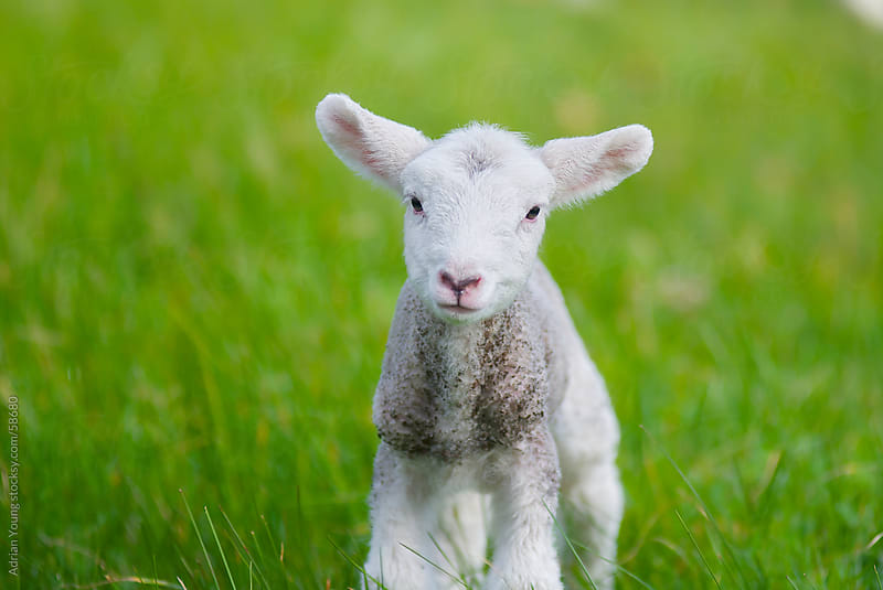 Curious Lamb in Grassy Field by Adrian Young for Stocksy United
