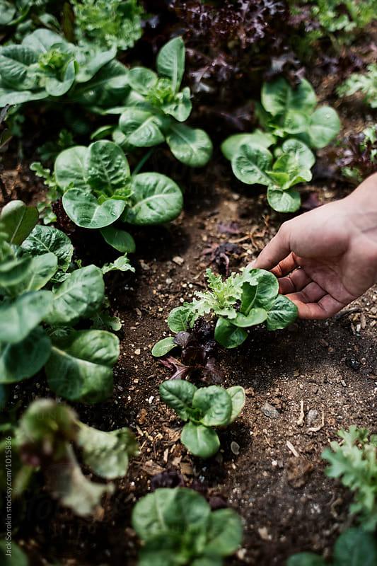 Person Gardening Lettuce Mix by Jack Sorokin for Stocksy United