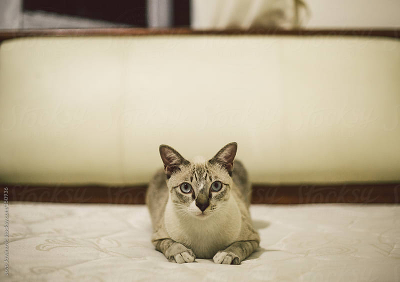 Cat sitting on a white bed. by Jovo Jovanovic for Stocksy United
