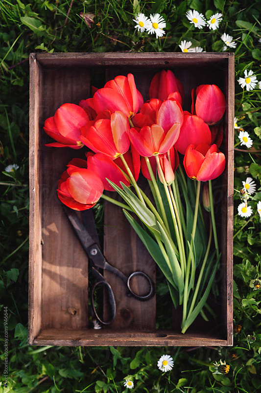 Freshly cut red tulips in crate by Pixel Stories for Stocksy United