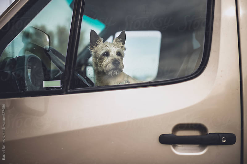 A dog gazes out of a car window by Rachel Bellinsky for Stocksy United