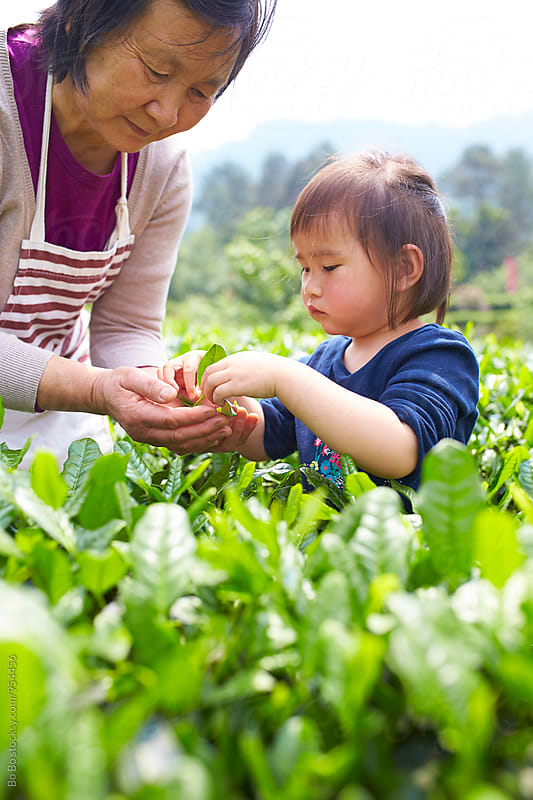 lovely little asian girl with her grandmother in the tea plantation by Bo Bo for Stocksy United