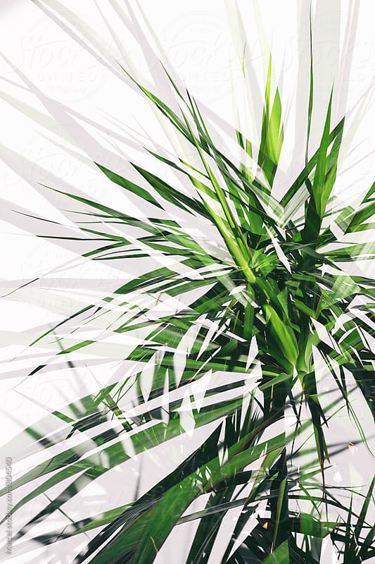 draceana palm double exposure by Marcel for Stocksy United