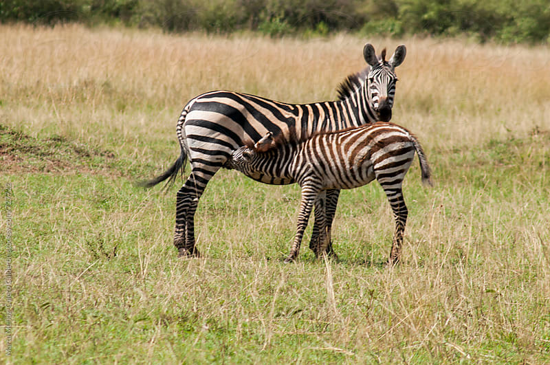 Breeding zebra with its mother in Kenia by Marta Muñoz-Calero Calderon for Stocksy United