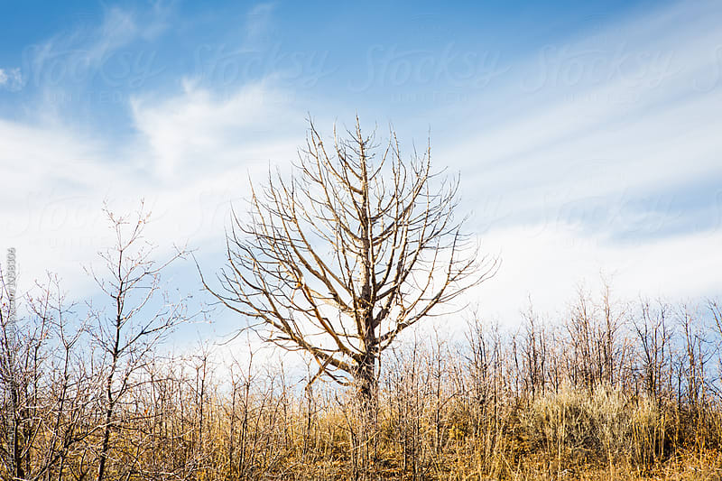 Leafless Tree with Blue Sky and Wispy Clouds by MEGHAN PINSONNEAULT for Stocksy United