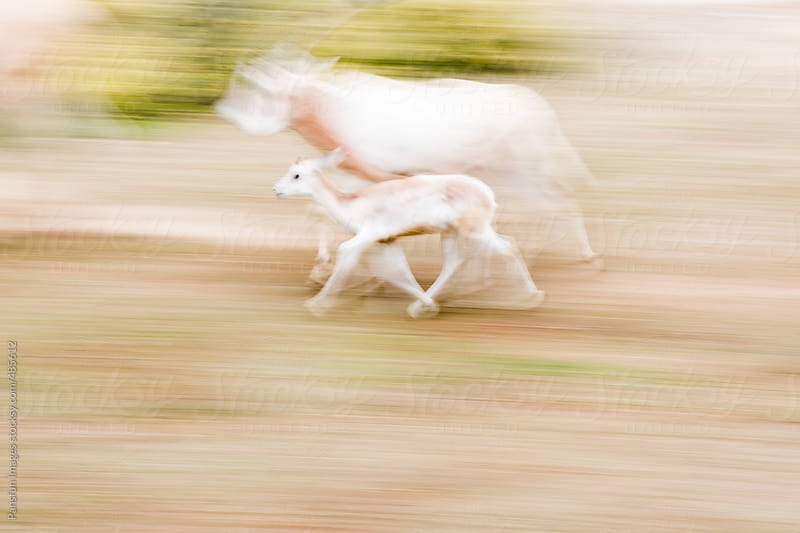 antelope run by Pansfun Images for Stocksy United