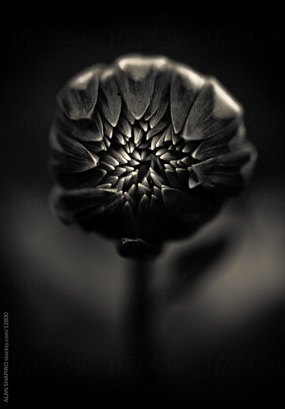 Monochrome Dahlia by alan shapiro for Stocksy United