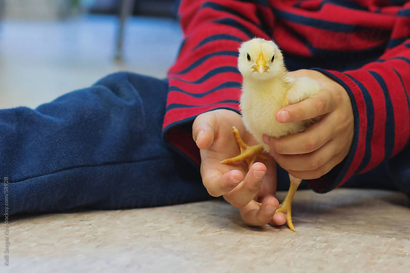 Closeup of chick in young child's hands by kelli kim for Stocksy United