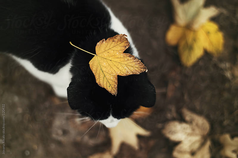 Black and white cat with autumn leaf on her head by Jovana Rikalo for Stocksy United