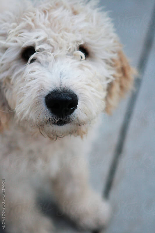 Goldendoodle Puppy by ALICIA BOCK for Stocksy United