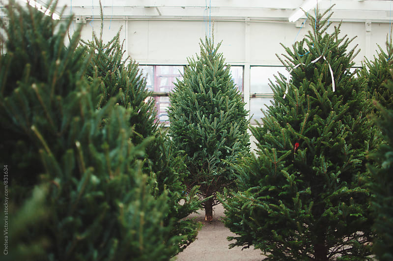 A Christmas tree store by Chelsea Victoria for Stocksy United