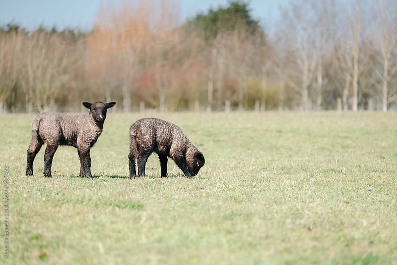 Cute young Shropshire lambs in a field by Rebecca Spencer for Stocksy United