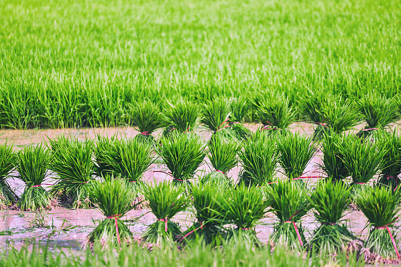 rice seedlings by Miss Rein for Stocksy United