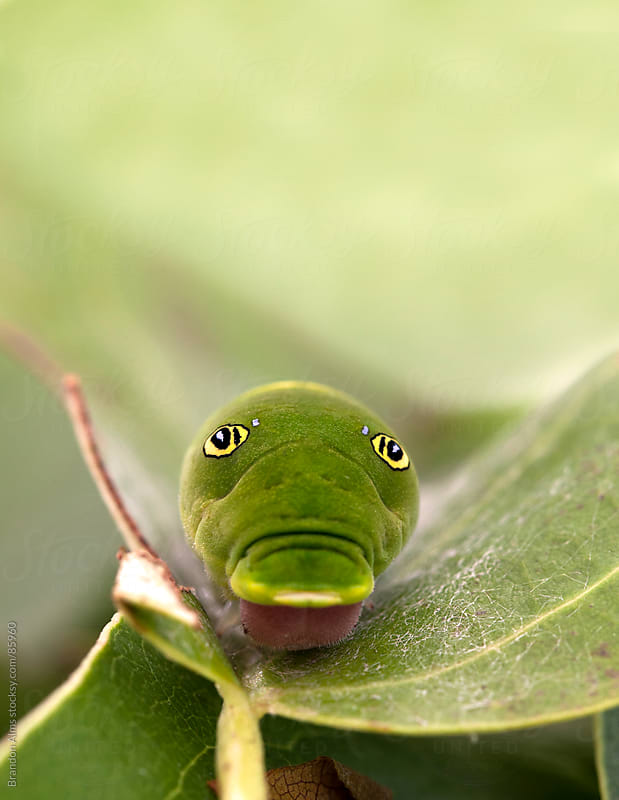 Tiger Swallowtail Caterpillar Macro by Brandon Alms for Stocksy United