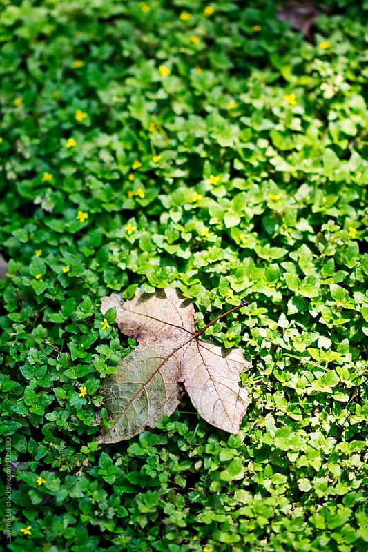 Autumn maple leaf falling on grass  by Lawren Lu for Stocksy United