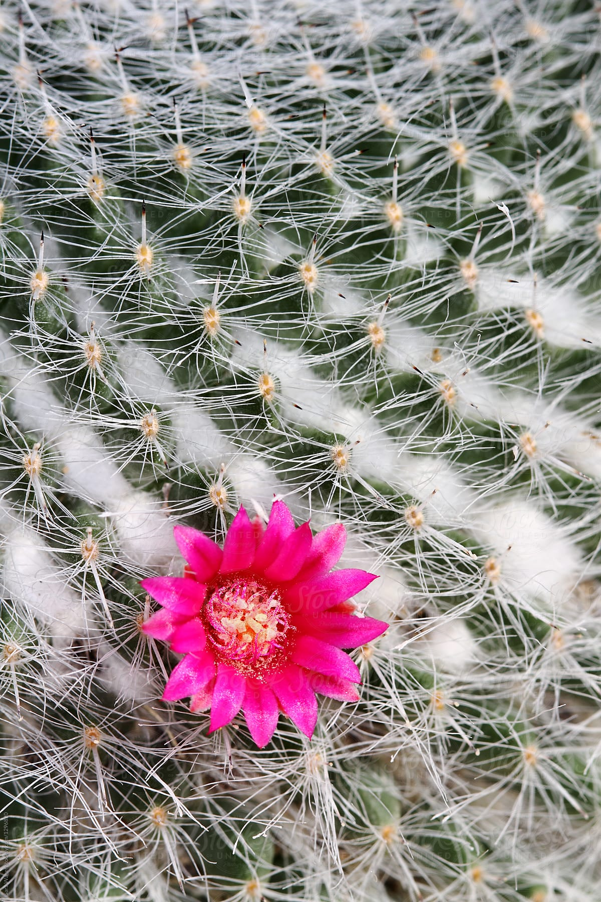 Pink Cactus Flower In Portrait Stocksy United