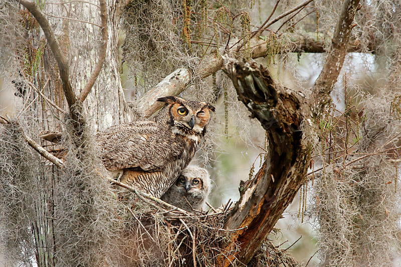 Great Horned Owl with Chick by Paul Tessier for Stocksy United