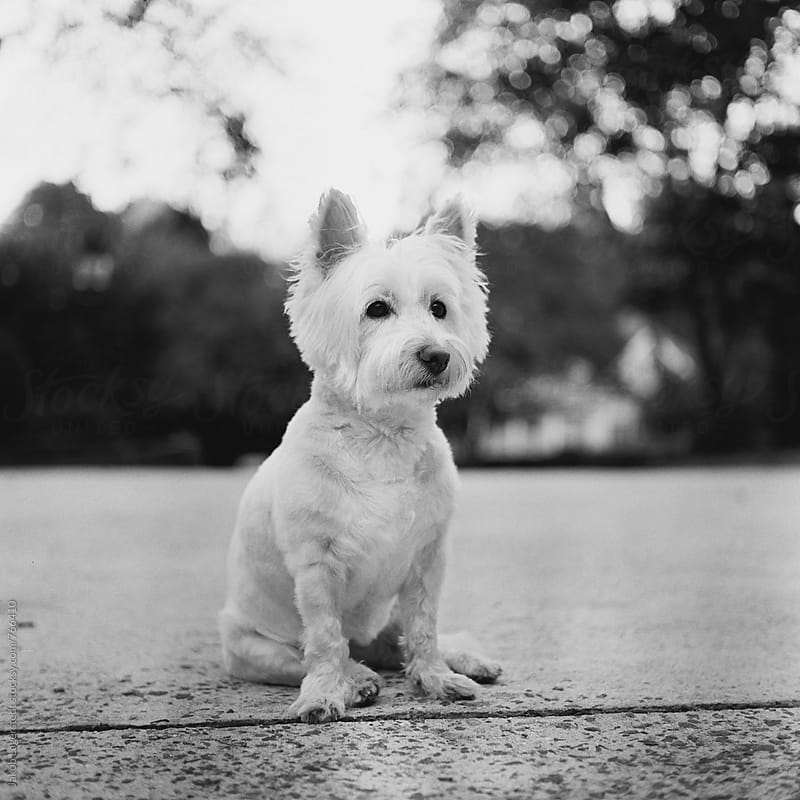 Black and white portrait of a small white dog by Jakob for Stocksy United